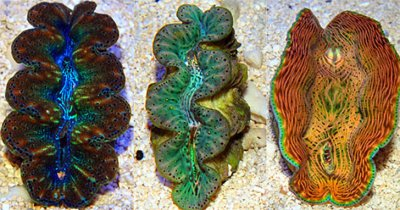 Giant Clams for Beginners: Beautiful, Hardy & Beneficial