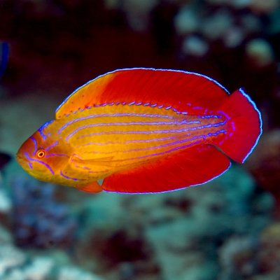 Eight-Line-Flasher-Wrasse-Paracheilinus-octotaenia-2-app-stk_1138140260965785.jpg