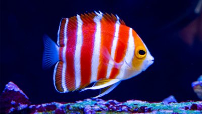 Peppermint Angelfish The Holy Grail of Marine Angelfish