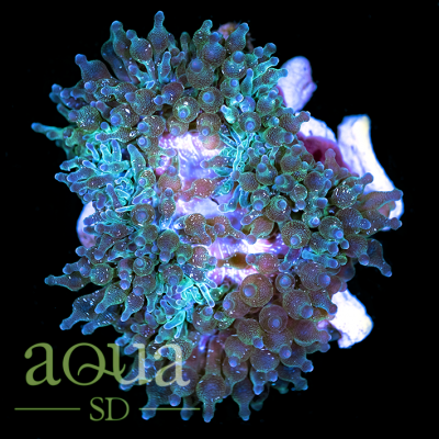 Acid_Wash_Bubble_Tip_Anemone_10_-_79_1080x.png