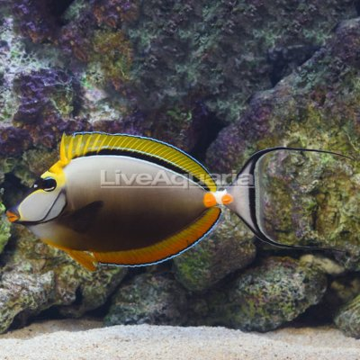 Blonde Naso Tang Male with Streamers Maldivian 8.125in +3in streamers 399.99.jpg