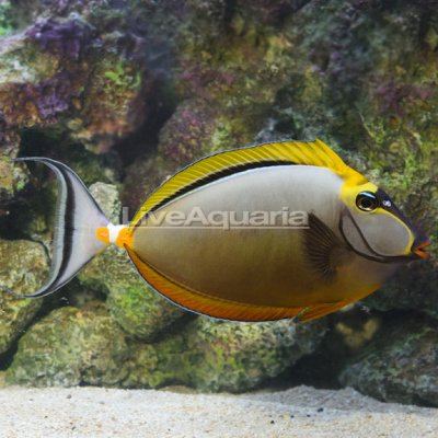 Blonde Naso Tang Male with Streamers 8.25 + 1.125in streamers 449.99.jpg