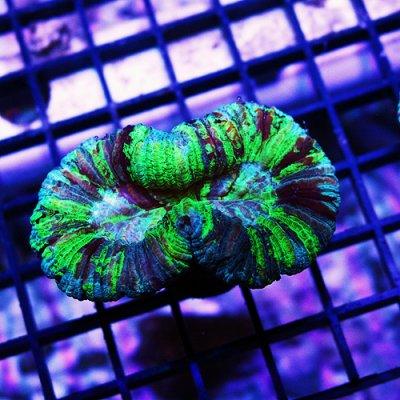 Emerald Rainbow Brain Coral 4 149-89.jpg