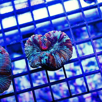 Rainbow Brain Coral 3 149-79.jpg