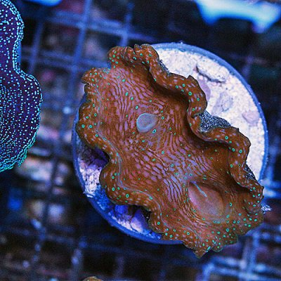 ORA Blue Spot Gigas Clam 28 199-129.jpg