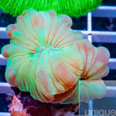 MS-fox coral 39 24.jpg
