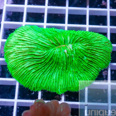 MS-plate coral 39 25.jpg