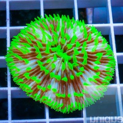 MS-plate coral 39 29.jpg