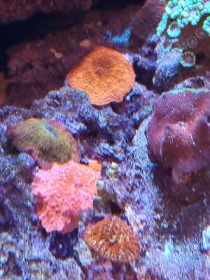 mushroom corals 1.jpg