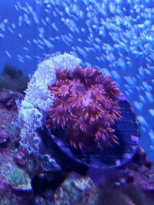 Mystery Coral White Light.jpg