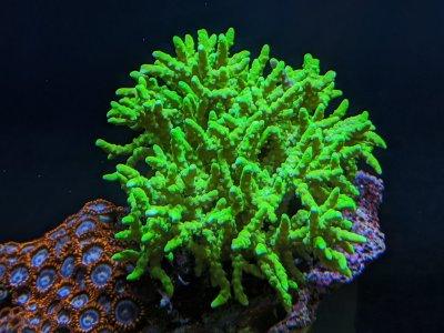 Green Goblin Anacropora.jpg