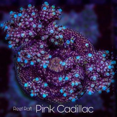 pink cadilac final.jpg