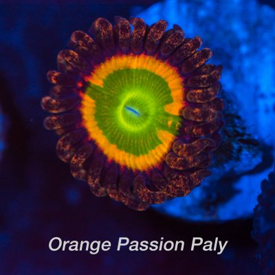 Orange-Passion-1200x1200.jpg