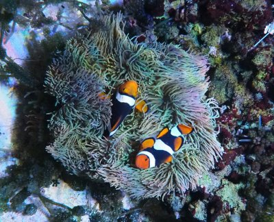 Zooxanthellae Transplant for Bleached Anemones