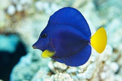 Purple-Tang-Fish.jpg