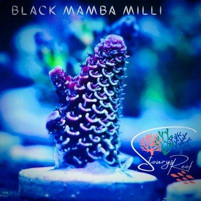 black mamba Millis.jpg