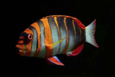 The Harlequin Tuskfish – All Dressed Up, but Anywhere to Go?