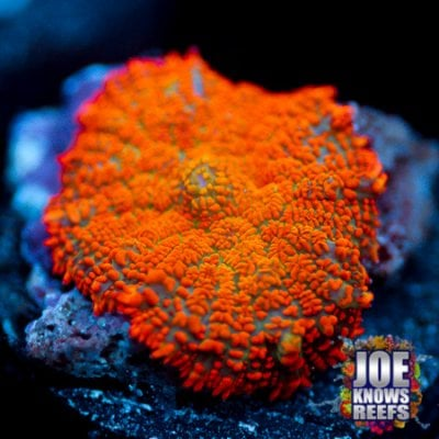 Orange Maramalade Rhodactis.jpg