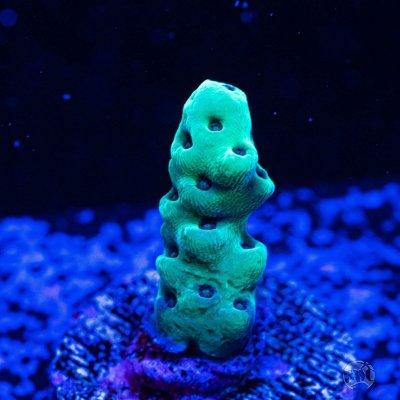 WWC Cookie Monster Acropora.jpg