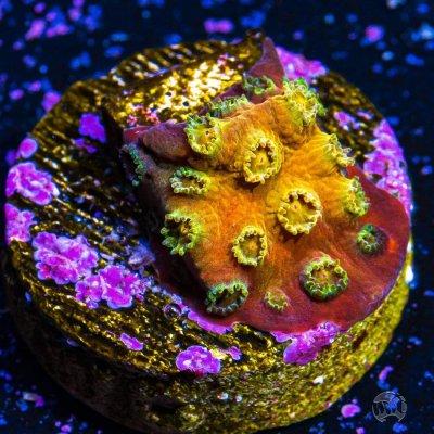 WWC Goldmember Cyphastrea.jpg