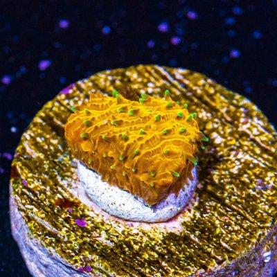 WWC Honeysickle Lithophyllon.jpg