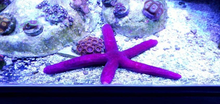 purple starfish.jpg