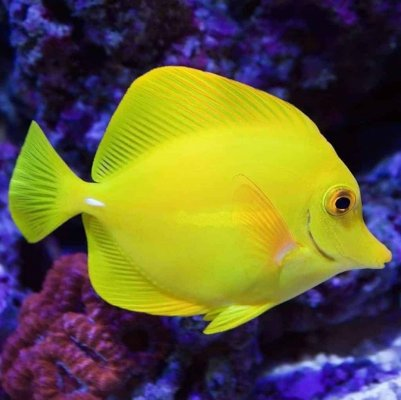 Are Zebrasoma Tangs Right for Your Tank?