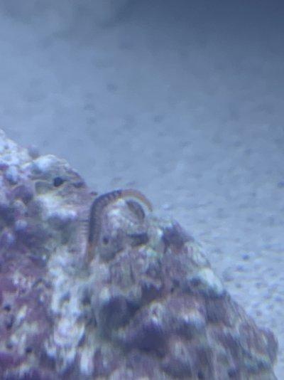 bristleworm 2.jpg