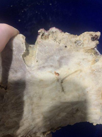 bristleworm 3.jpg