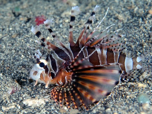 1200px-Zebra_Lionfish_(Dendrochirus_zebra)_(45552894282).jpg