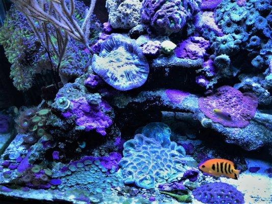 Corals.flame.jpg