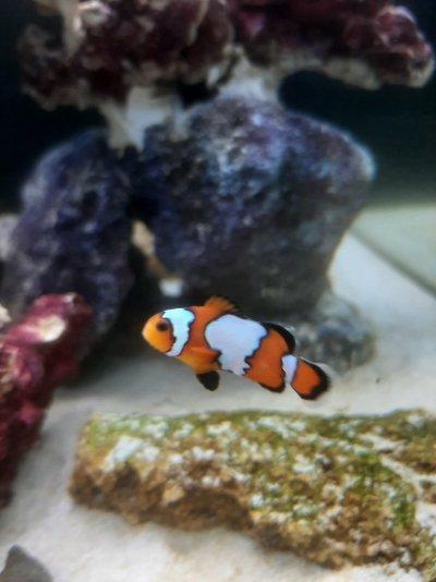 Clownfish 1.jpg