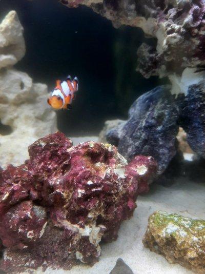 Clownfish 3.jpg