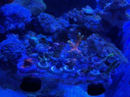 coral (2).jpeg