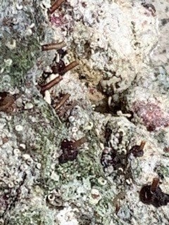 Bristle Worms or Vermited Snails on live rock 8.jpg