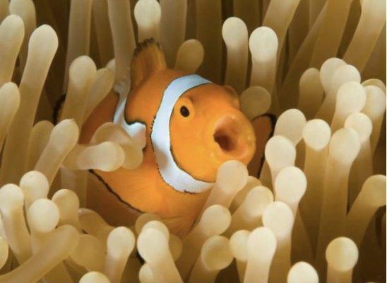Plank Caption Contest 4 - Clownfish.jpeg