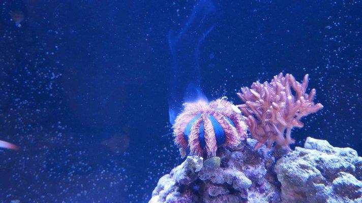 bachlor urchin.jpg