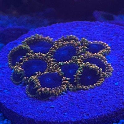 High end mini Zoa colony 15+ polyps