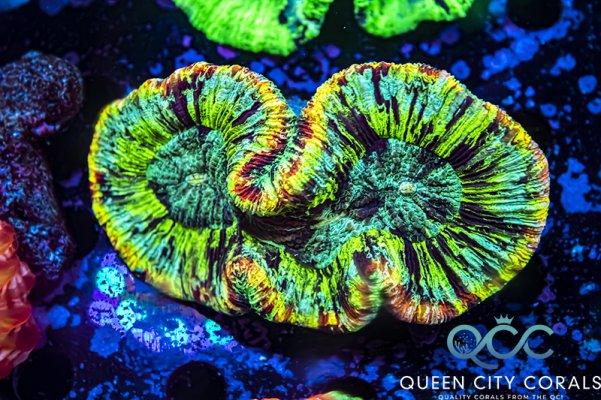Rainbow Splatter Trachy