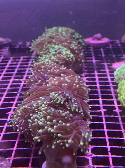 Torch Corals (Green Tipped Aussie)