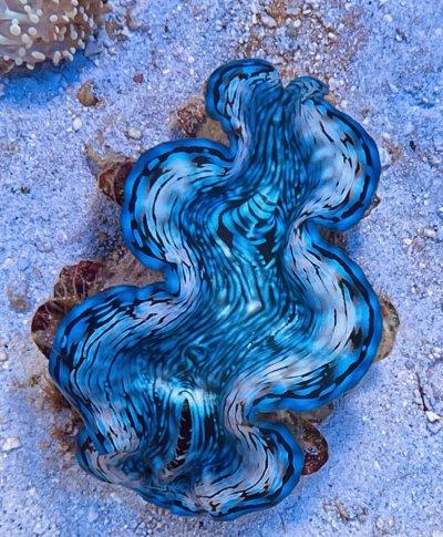 Blue Squamosa Clams