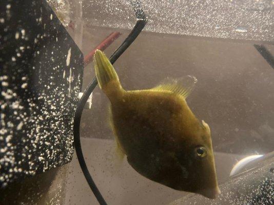 Aptasia Eating Filefish