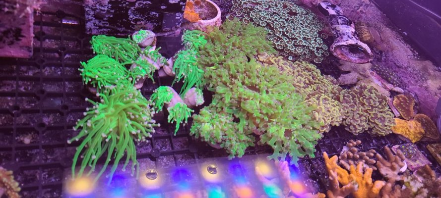 Great Deal on Torches, Frogspawn and Hammers!!!!! Local Pick up Only. Ocean Beach, CA
