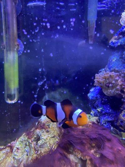Royal Gramma & Clownfish