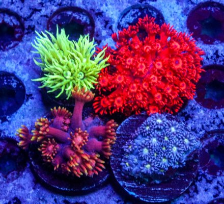 Gonipora 4 Pack...ready to ship!