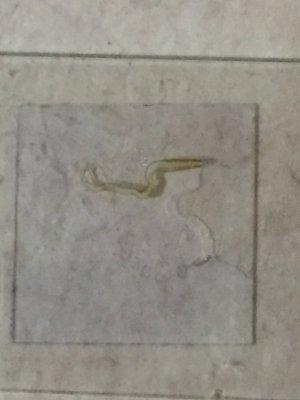 Teeny tiny worm ID | REEF2REEF Saltwater and Reef Aquarium Forum