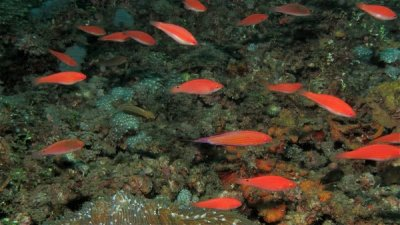 Flasher_Wrasses_Paracheilinus_filamentosus_And_Others-600x337.jpg