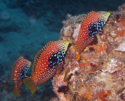 'Pairing' Wrasses: That's Not How Any of this Works!