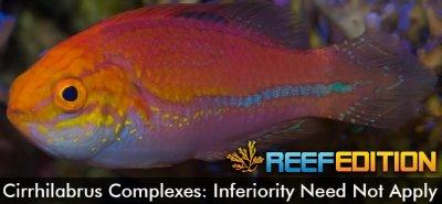 Cirrhilabrus Complexes: Inferiority Need Not Apply