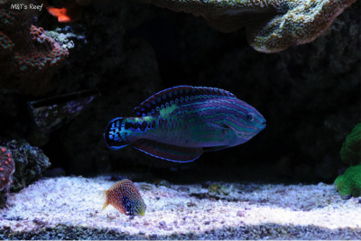 Super Star Of The Reef: The Blue Star Leopard Wrasse–Macropharyngodon bipartitus